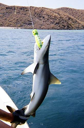 Valorequin : Prélèvement d'un requin tigre à la canne à pêche  DomTomNews